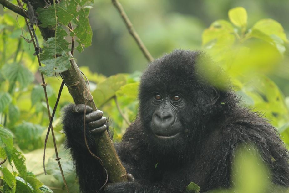 Uganda, Rwanda eDRC